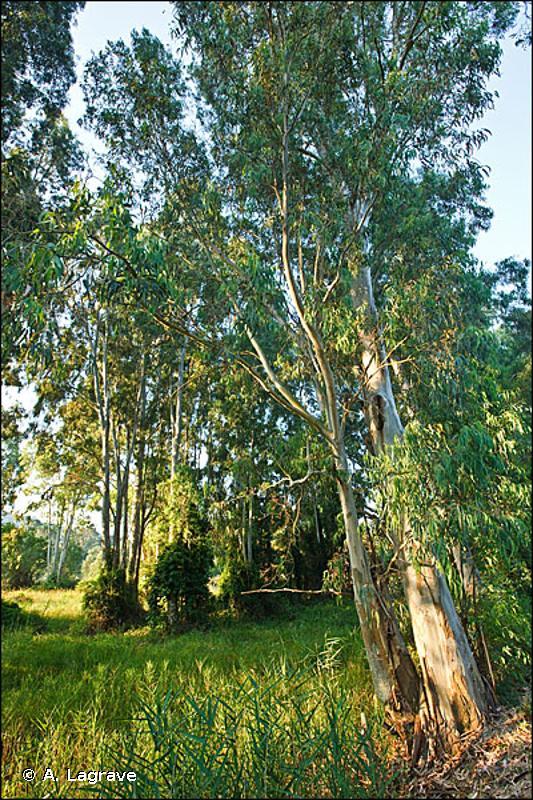 83.322 - Plantations d'Eucalyptus - CORINE biotopes