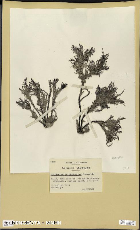 Cystoseira crinitophylla