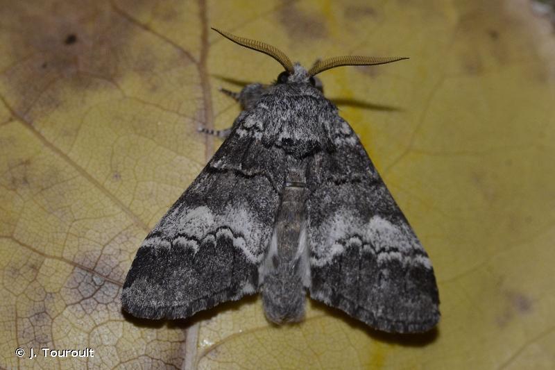 Drymonia ruficornis
