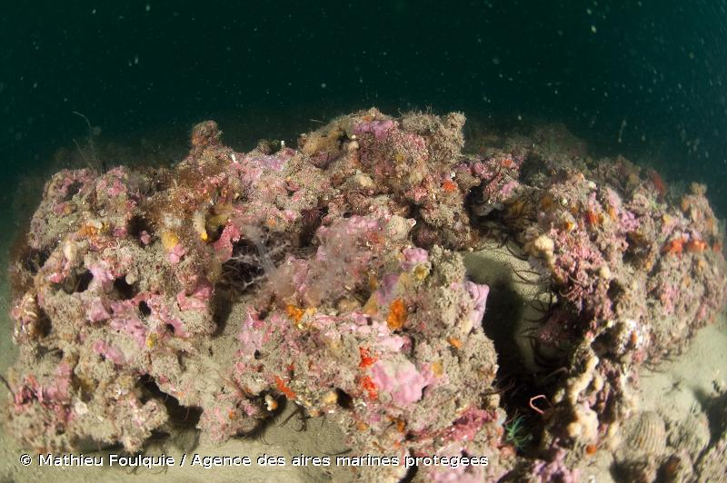 A4.26D - Plateformes coralligènes - EUNIS