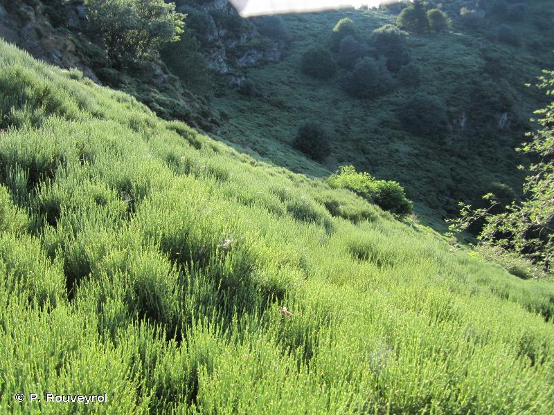 5120 - Formations montagnardes à <em>Cytisus purgans</em> - Cahiers d'habitats