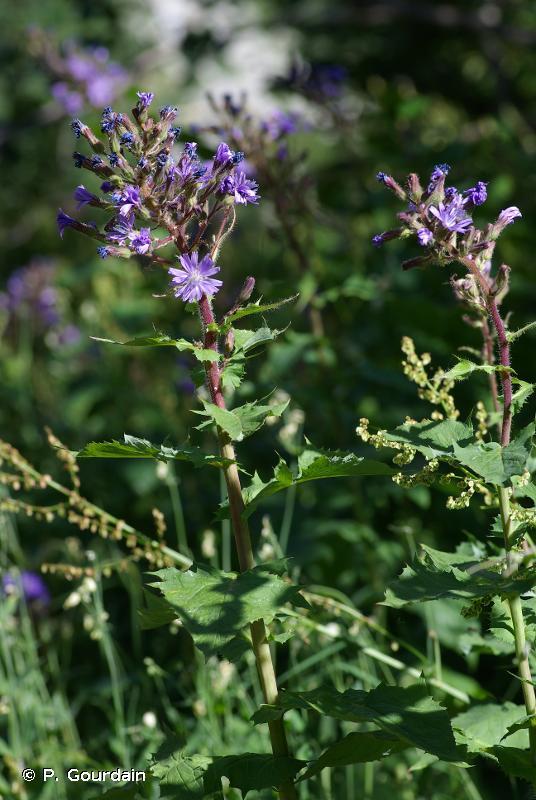 Lactuca alpina