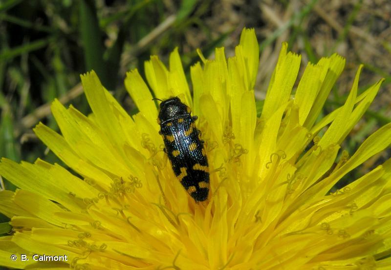 Acmaeodera quadrifasciata