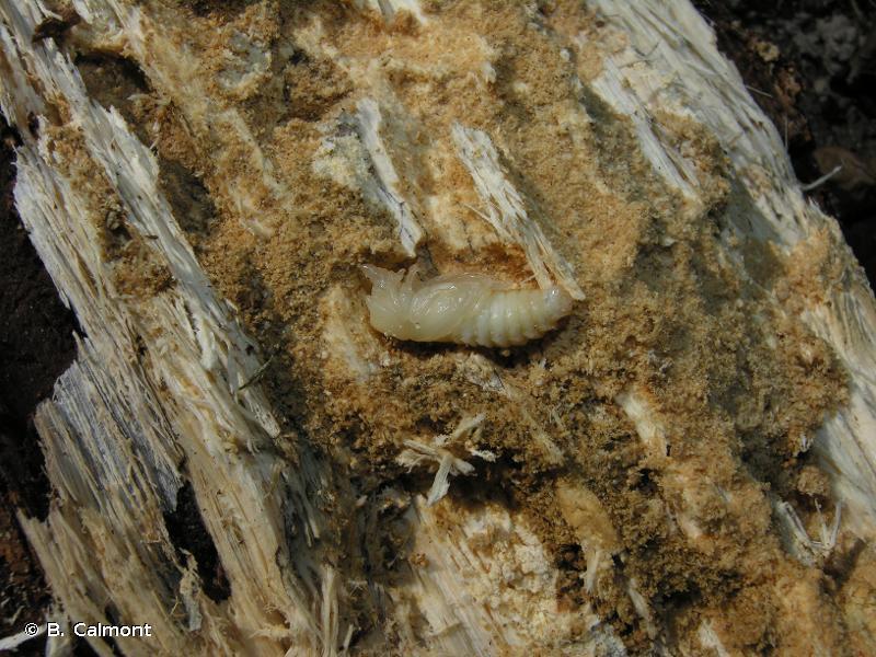Sinodendron cylindricum