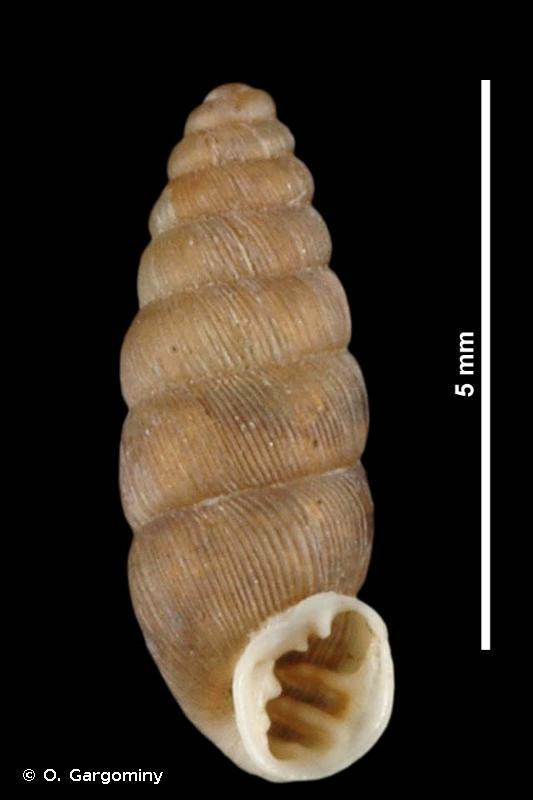Abida occidentalis