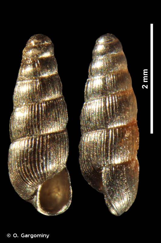 Acicula douctouyrensis