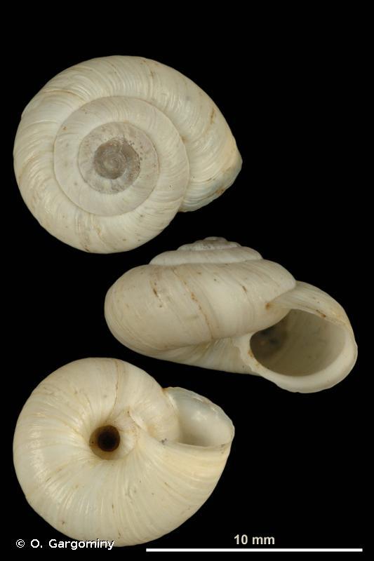 Helicella nubigena