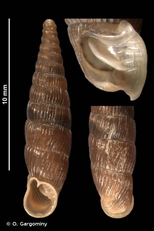 Macrogastra plicatula plicatula