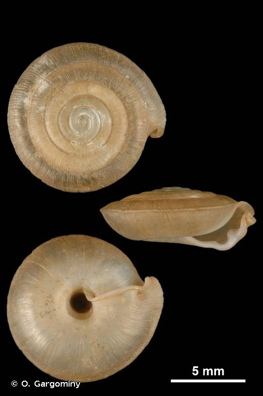 Mastigophallus rangianus