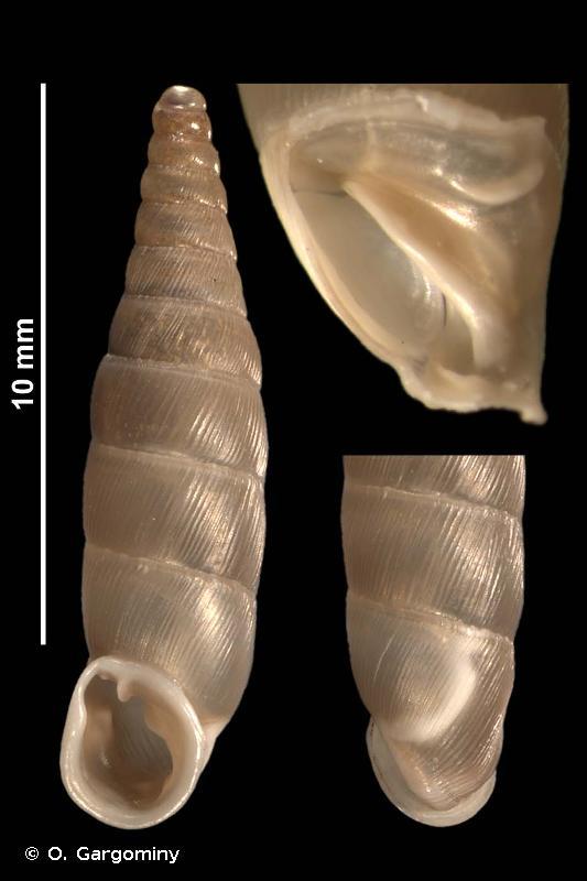 Papillifera solida