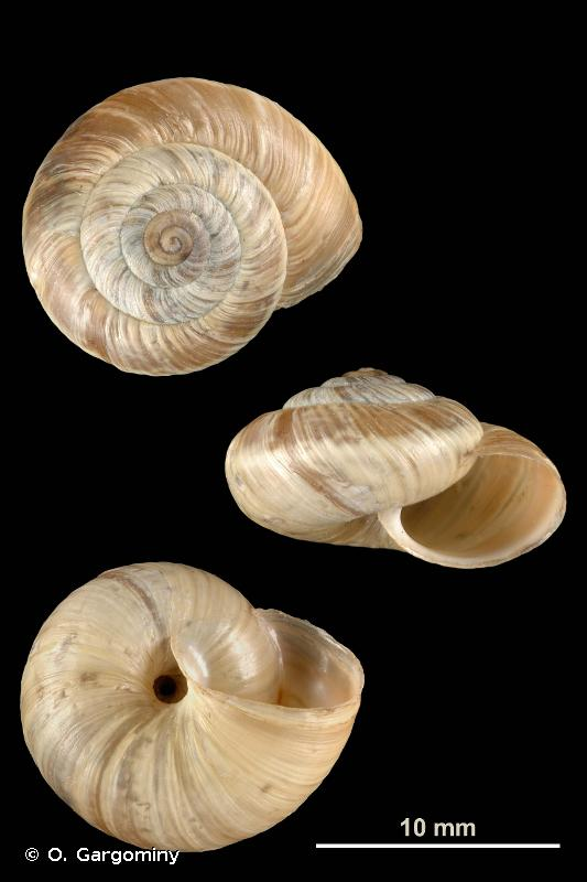 Pyrenaearia carascalensis