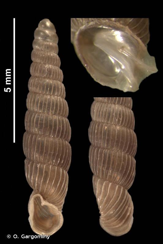 Ruthenica filograna