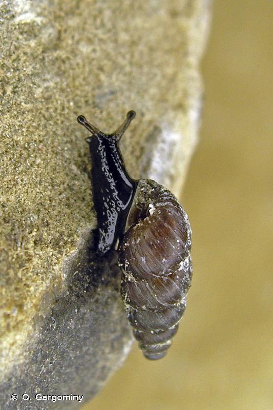 Chondrina farinesii