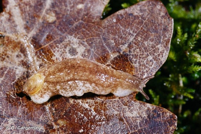 Testacella haliotidea