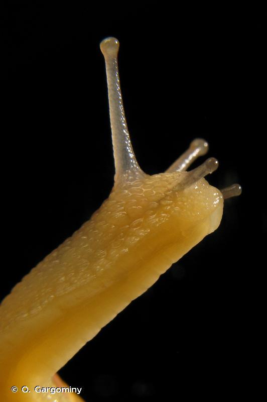 Macularia sylvatica