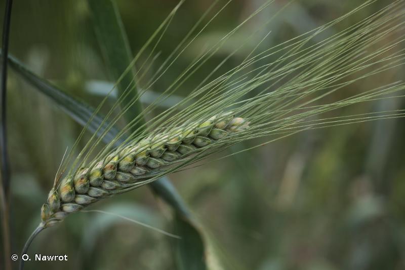 Triticum turgidum