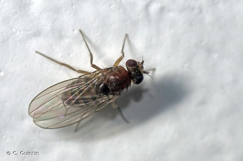 Drosophila funebris