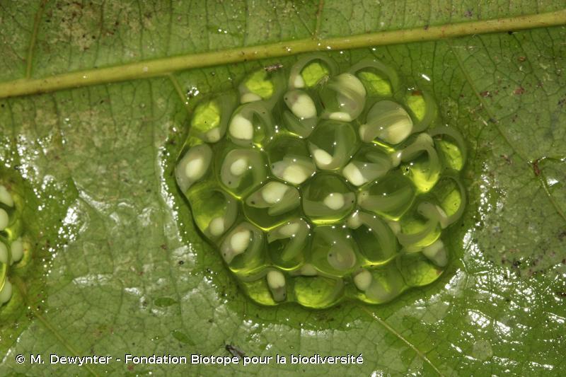 Hyalinobatrachium mondolfii