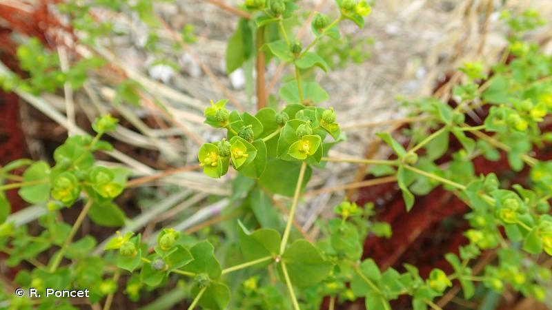 Euphorbia platyphyllos
