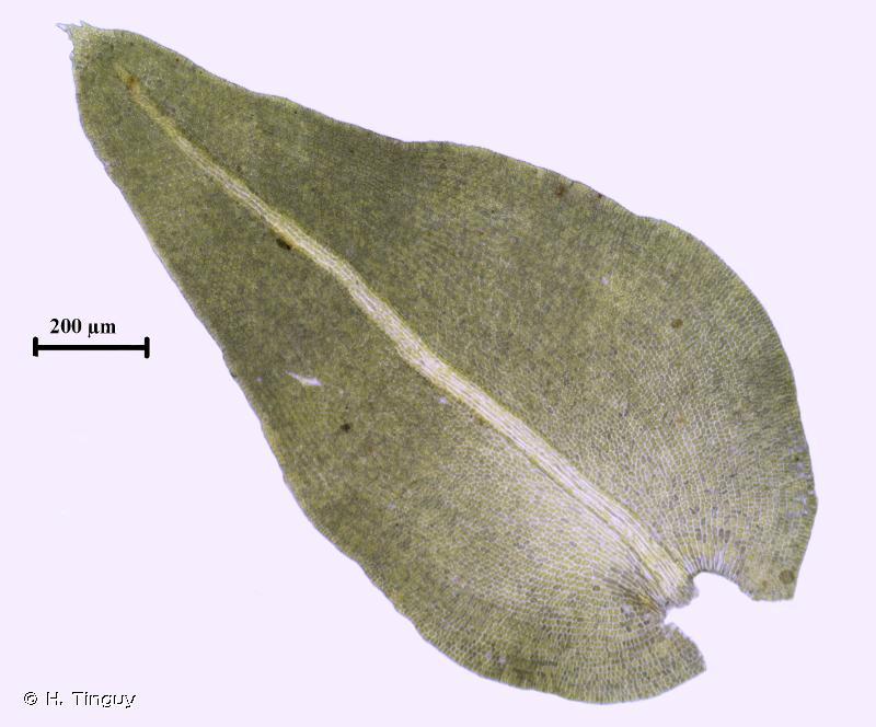 Anomodon attenuatus
