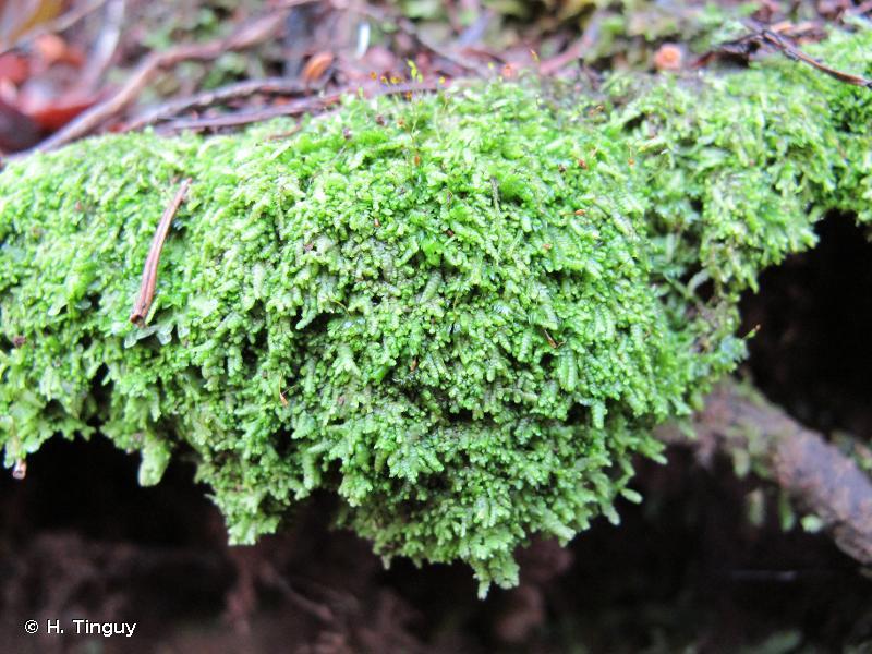 Lejeunea cavifolia
