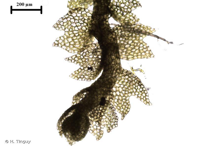 Mesoptychia badensis