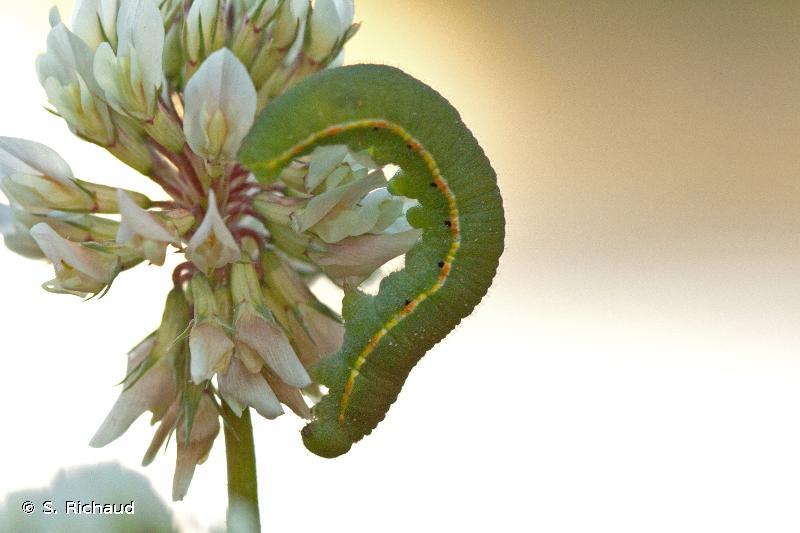 Colias crocea