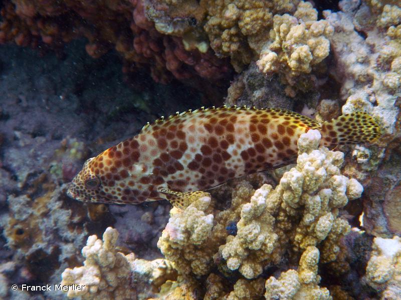 Epinephelus merra