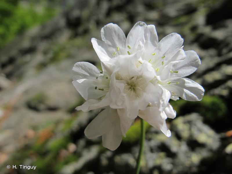 Armeria leucocephala