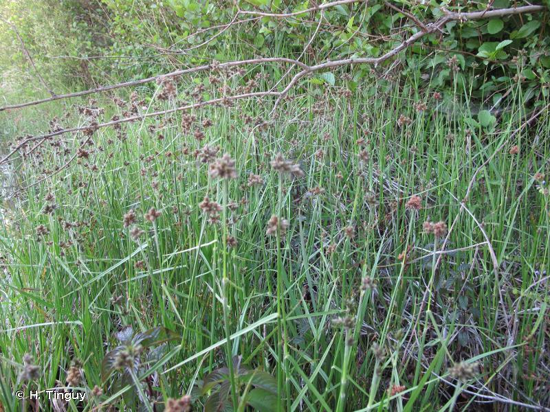 Fuirena pubescens