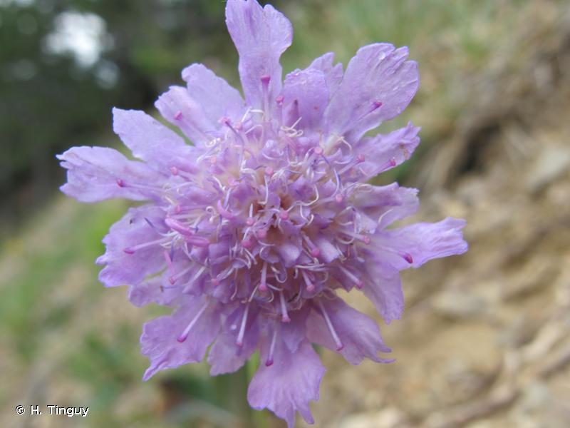 Lomelosia graminifolia