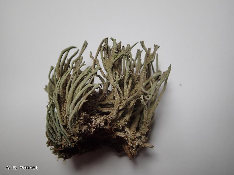 Cladonia subulata