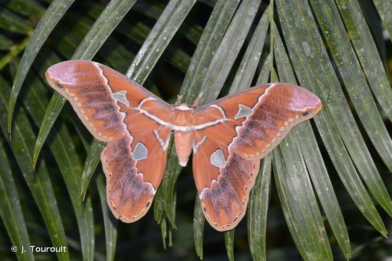 Rothschildia hesperus
