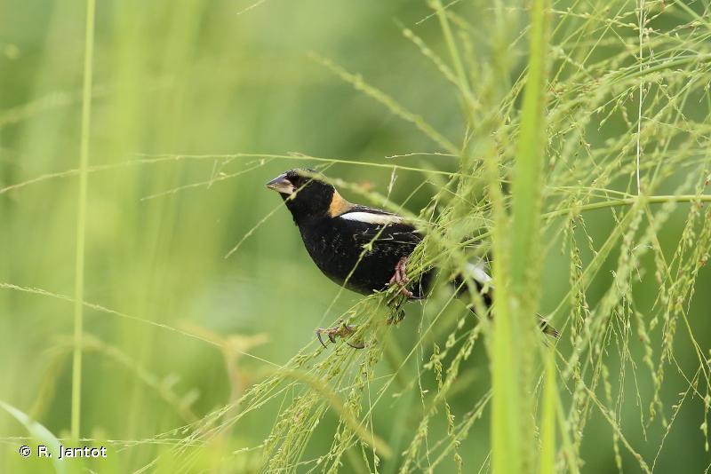 Dolichonyx oryzivorus