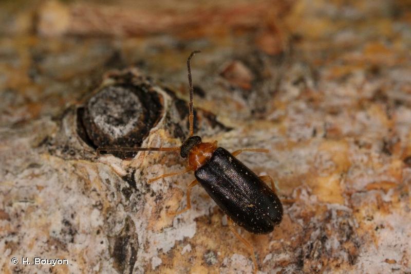 Conopalpus brevicollis