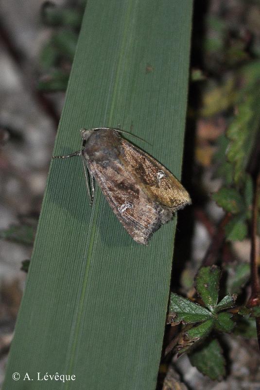 Helotropha leucostigma
