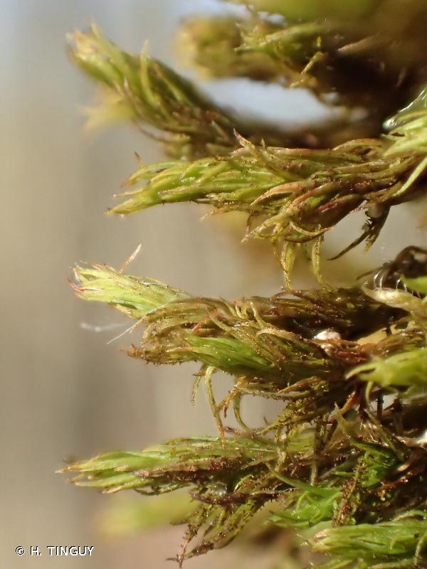Orthotrichum lyellii