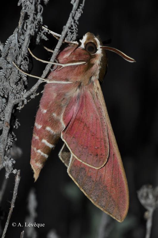 Hyles euphorbiae