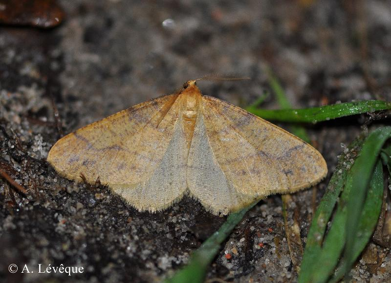 Phigaliohybernia aurantiaria
