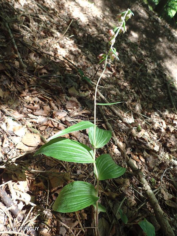 Epipactis helleborine subsp. minor