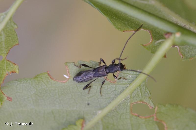 Glaphyra umbellatarum