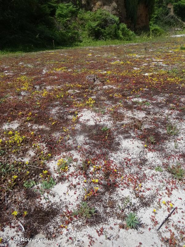 """2130 - Dunes côtières fixées à végétation herbacée (""""dunes grises"""") - Habitats d'intérêt communautaire"""