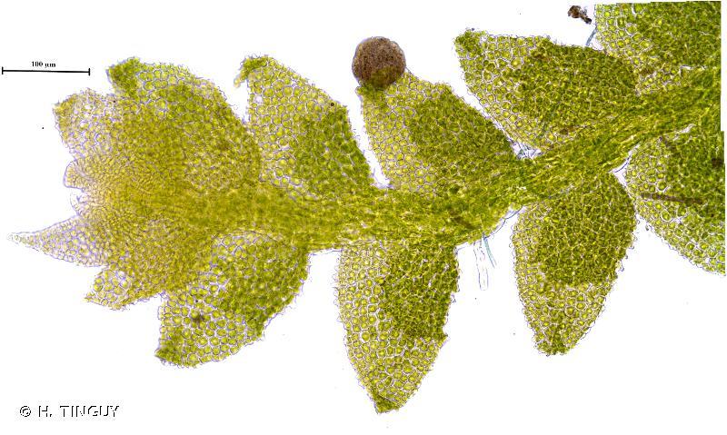Cololejeunea rossettiana