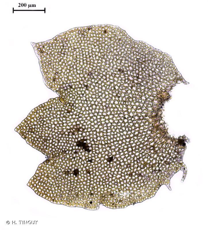 Neoorthocaulis floerkei