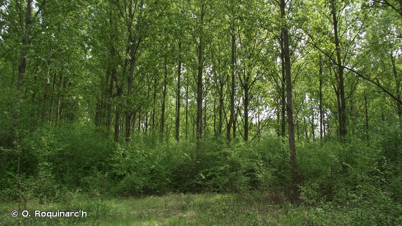 83.321 - Plantations de Peupliers - CORINE biotopes
