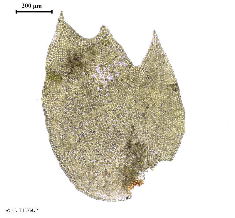 Tritomaria exsecta