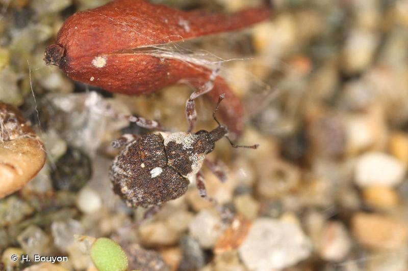 Neophytobius granatus