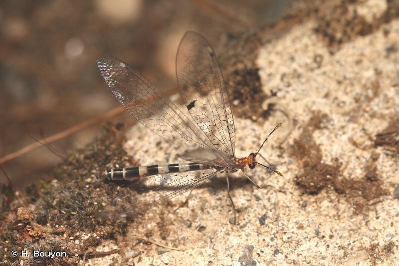 Megistopus flavicornis