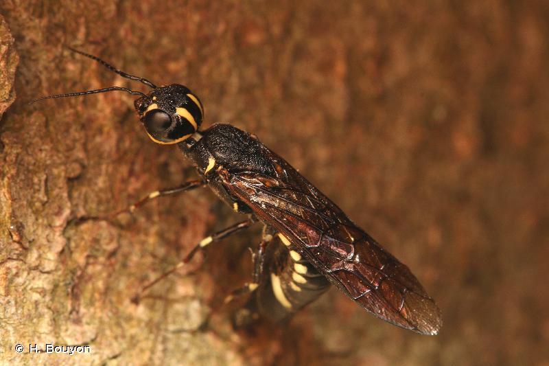 Xiphydria longicollis