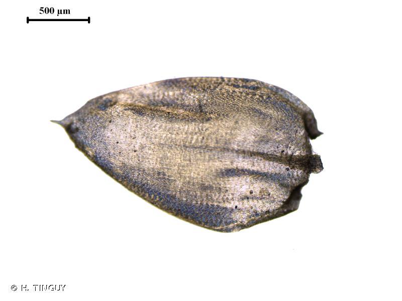 Pseudoscleropodium purum